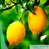 muda de limão siciliano Nova Piraju