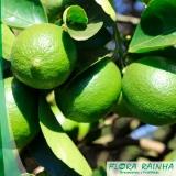 muda de limão taiti Jardim Santa Terezinha