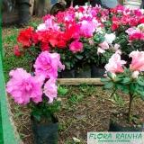 muda de mini azaléia Jardim Bonfiglioli