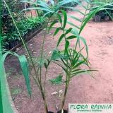 muda de palmeira açaí Caraguatatuba
