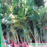 muda de palmeira areca bambu Cidade Patriarca