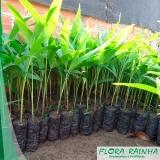 muda de palmeira imperial Jabaquara