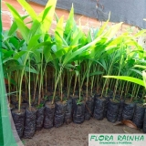 muda de palmeira imperial Jardim Morumbi