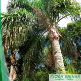 muda de palmeira jussara Jardim Morumbi