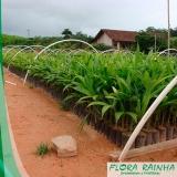 muda de palmeira pupunha Vila Formosa