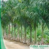 muda de palmeira real Bixiga