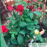 muda de rosa Lauzane Paulista