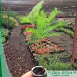 muda de sibipiruna Jardim Orly