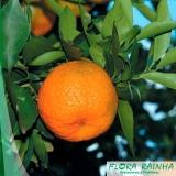 muda de tangerina cravo Interlagos