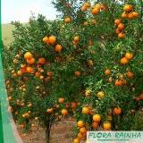 muda de tangerina ponkan Pedreira
