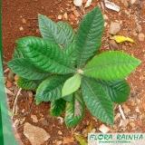 muda frutífera de ameixa Amparo