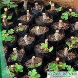 muda frutífera de figo Itapevi