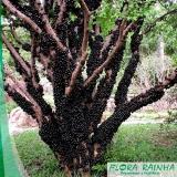 muda frutífera de jabuticaba sabará Jurubatuba