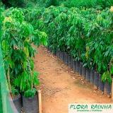muda frutífera de lichia Campo Grande
