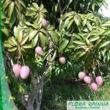 muda frutífera de manga Parque do Carmo