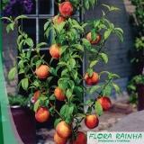 muda frutífera de romã Serra da Cantareira