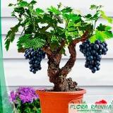 muda frutífera de uva Campo Limpo