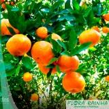 muda de laranja bahia
