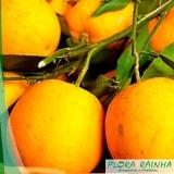 muda de laranja seleta
