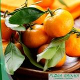 muda de tangerina cravo