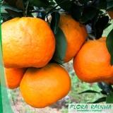 muda de tangerina ponkan