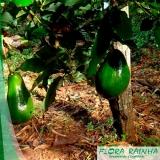 mudas de abacate Pacaembu