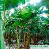mudas de banana Ilha Comprida