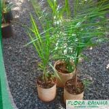 muda de palmeira jerivá