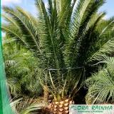 muda de palmeira tamareira
