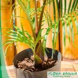 muda de palmeira triangular