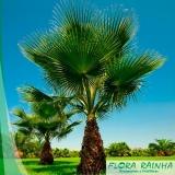 muda de palmeira washingtônia
