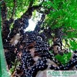 muda frutífera de jabuticaba paulista