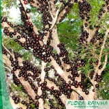 muda frutífera de jabuticaba sabará