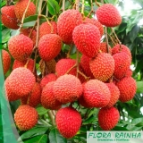 muda frutífera de lichia