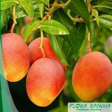muda frutífera de manga
