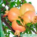 muda frutífera de romã