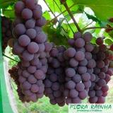 muda frutífera de uva