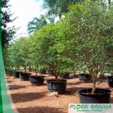 muda frutífera em vaso
