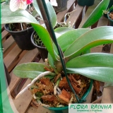 muda de orquídea
