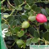 onde comprar muda frutífera de ameixa Brasilândia