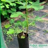 onde comprar muda frutífera de figo Jabaquara