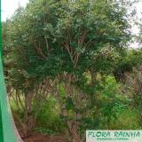 onde comprar muda frutífera de jabuticaba sabará Interlagos