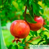 onde comprar muda frutífera de romã São Carlos