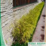 onde vende muda de bambusa Rio Grande da Serra