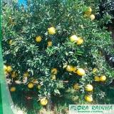 onde vende muda de laranja champanhe Itatiba