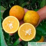 onde vende muda de laranja lima Balneário Mar Paulista