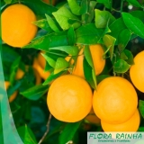 onde vende muda de laranja pera Jardim Helian