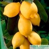 onde vende muda de limão siciliano Vila Esperança