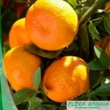 onde vende muda de tangerina cravo Água Funda