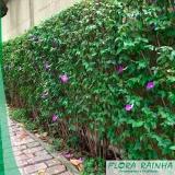 onde vende muda de tumbérgia arbustiva Jardim São Paulo